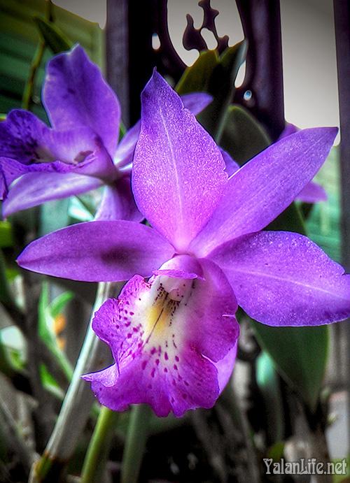 Taipei Life Art Cattleya Orchids Flowers Romanticism 台北生活 绿植 嘉德丽雅兰 花卉摄影 浪漫主义 Yalan雅岚文艺博客
